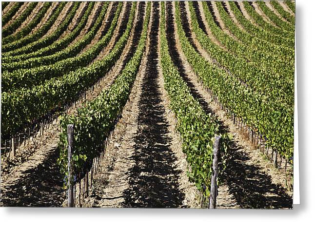 View Down The Row Of Vines Greeting Card