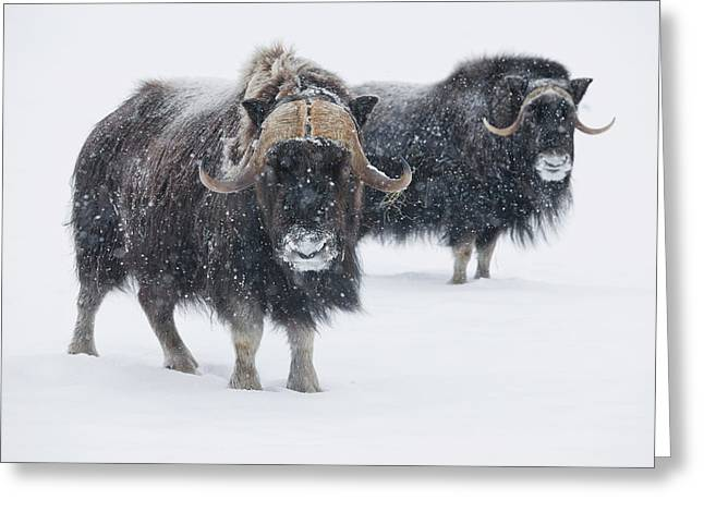View Of A Pair Of Muskoxen Bulls Greeting Card by Doug Lindstrand
