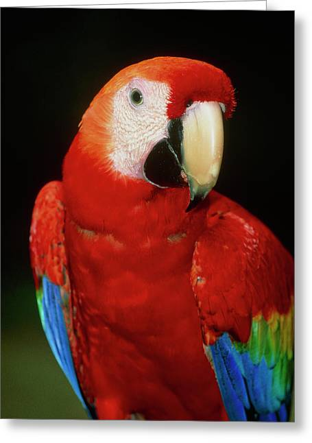 View Of A Scarlet Macaw (ara Macao) Greeting Card