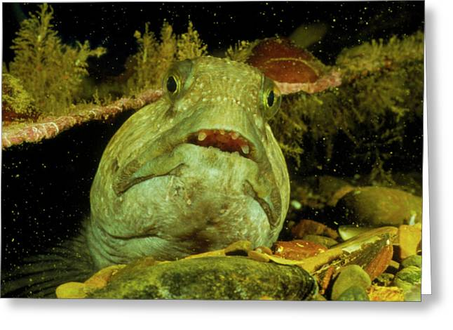 View Of A Wolf Fish Greeting Card by Rudiger Lehnen/science Photo Library