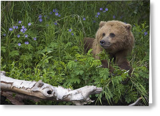 View Of Brown Bear Resting In A Patch Greeting Card by Milo Burcham