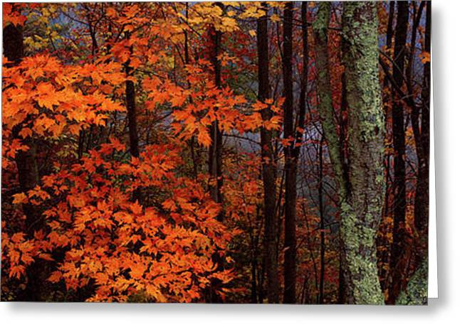 View Of Trees In Forest, Great Smoky Greeting Card by Panoramic Images