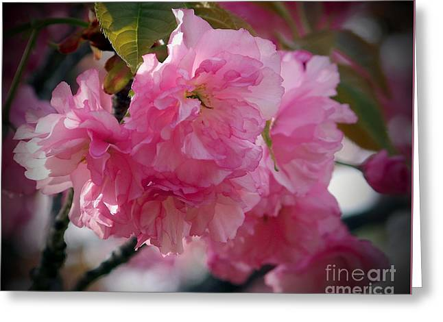 Greeting Card featuring the photograph Vignette Cherry Blossom by Gena Weiser