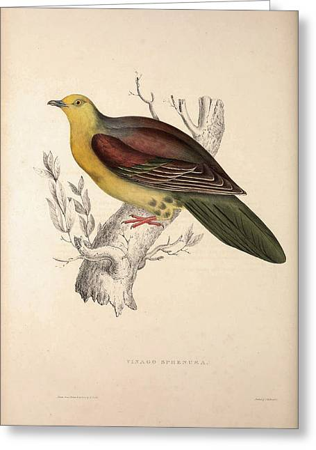 Vinago Sphenura, Wedge-tailed Green-pigeon. Birds Greeting Card by Quint Lox