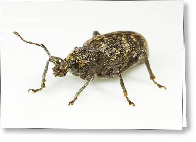 Vine Weevil Greeting Card by Sinclair Stammers