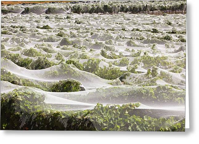 Vineyard Greeting Card by Ashley Cooper