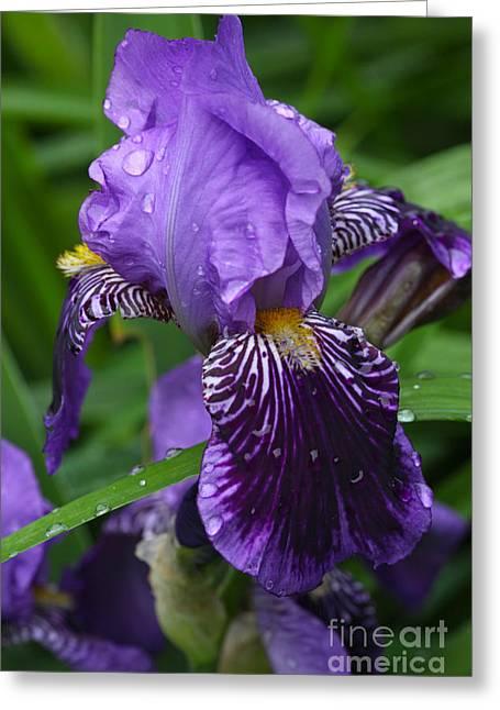 Vineyard Iris Greeting Card by Michelle Wiarda