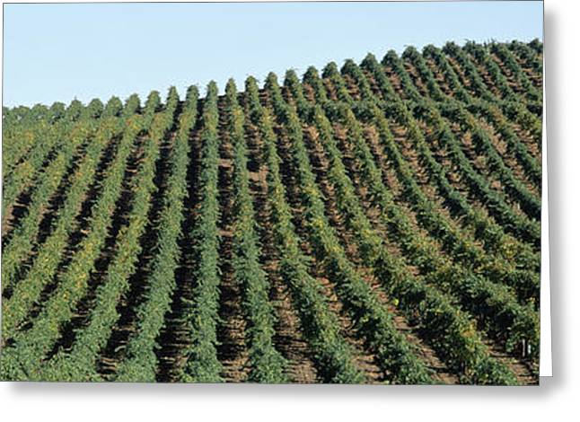 Vineyard, Napa Valley, Napa County Greeting Card by Panoramic Images
