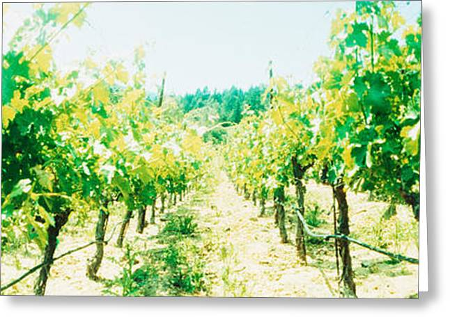 Vineyards In Spring, Napa Valley Greeting Card by Panoramic Images