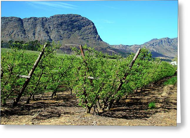 Vineyards Of Franschoek, Cape Wine Greeting Card by Miva Stock