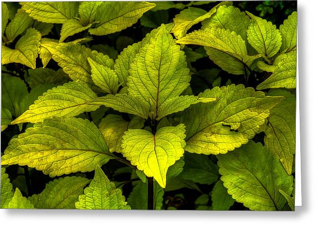 Greeting Card featuring the photograph Vintage Green Coleus Plant by Dennis Dame
