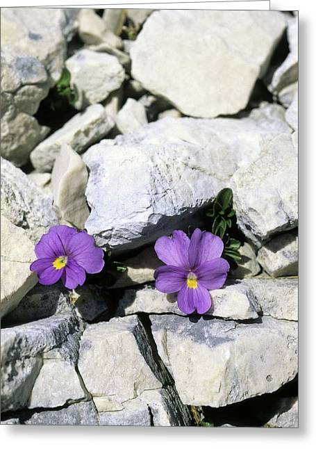 Viola Magellensis Greeting Card by Bruno Petriglia/science Photo Library