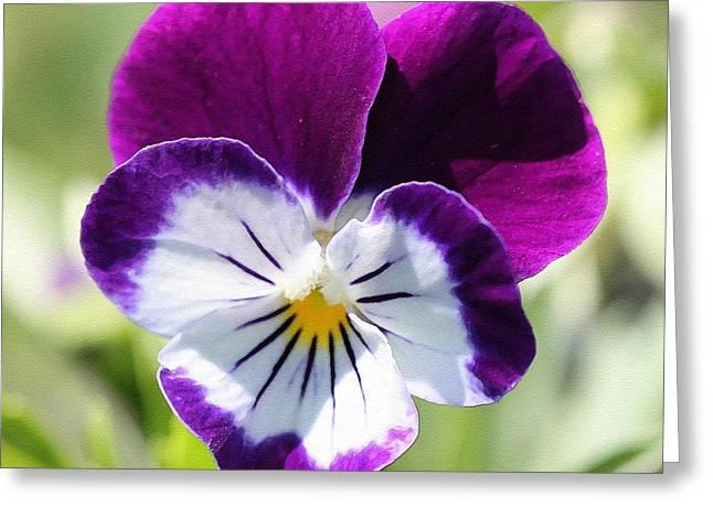 Viola Named Sorbet Blackberry Cream Greeting Card by J McCombie