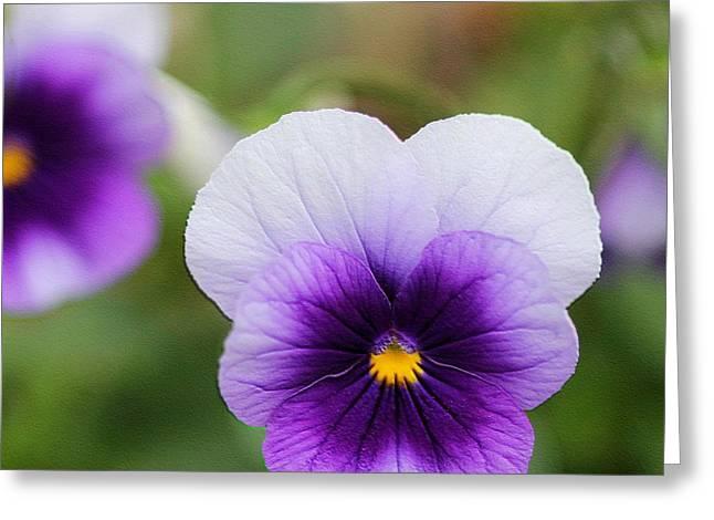Viola Named Sorbet Violet Beacon Greeting Card