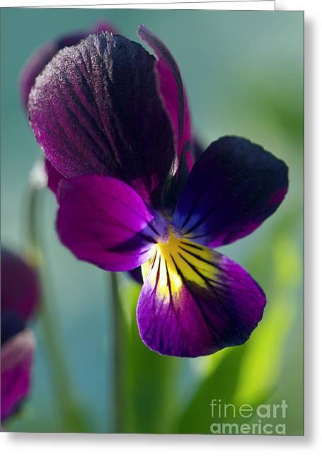 Viola Greeting Card by Sharon Talson