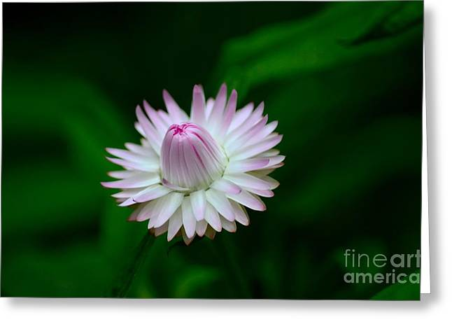 Violet And White Flower Sepals And Bud Greeting Card