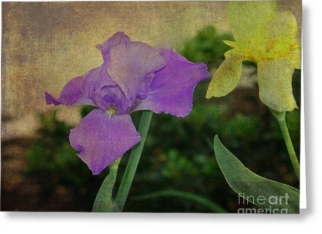 Violet And Yellow Irises  Greeting Card by Amanda Collins