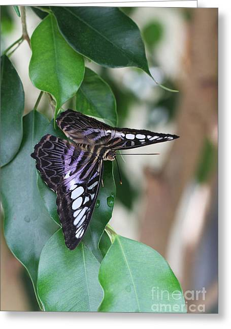Violet Clipper Butterfly Greeting Card