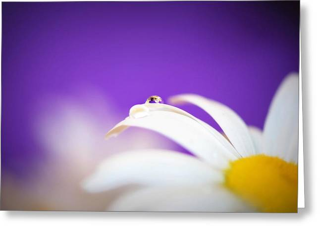 Violet Daisy Dreams Greeting Card by Lisa Knechtel