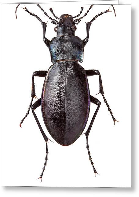 Violet Ground Beetle Greeting Card by Natural History Museum, London