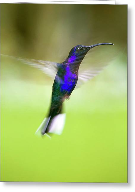 Violet Sabrewing Hummingbird Greeting Card