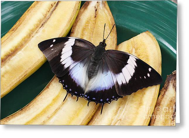 Violet-spotted Charaxes Butterfly Greeting Card
