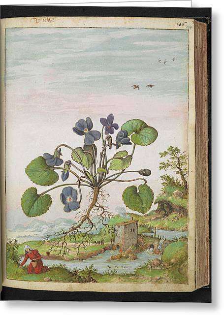 Violet (viola Odorata) Greeting Card by British Library