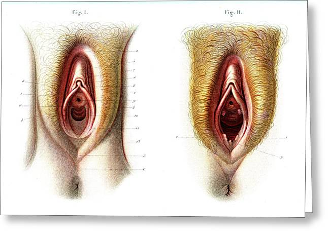 Virgin And Non-virgin Vulva Anatomy Greeting Card by Collection Abecasis