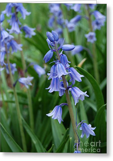 Greeting Card featuring the photograph Virginia Blue Bells  by Eva Kaufman