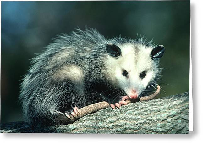 Virginia Opossum (didelphis Virginiana Greeting Card by Richard and Susan Day