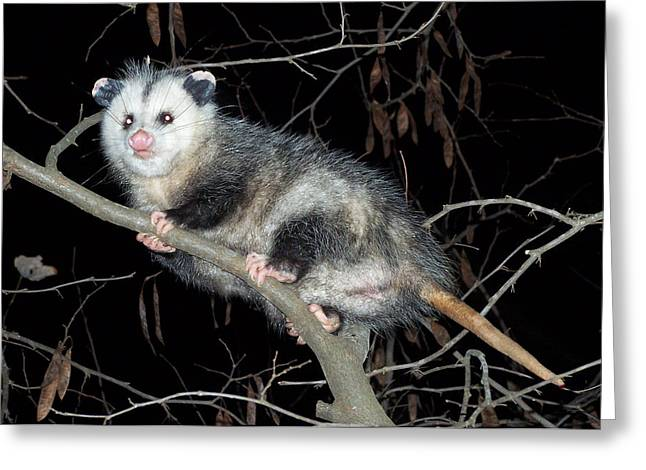 Greeting Card featuring the photograph Virginia Opossum by William Tanneberger