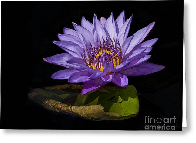 Visitor To The Water Lily Greeting Card