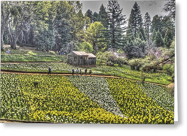 Visitors On Daffodil Hill Greeting Card