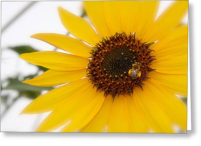 Greeting Card featuring the photograph Vivid Sunflower With Bee Fine Art Nature Photography  by Jerry Cowart