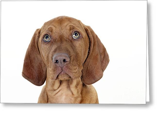 Vizsla Puppy Dog Greeting Card by John Daniels