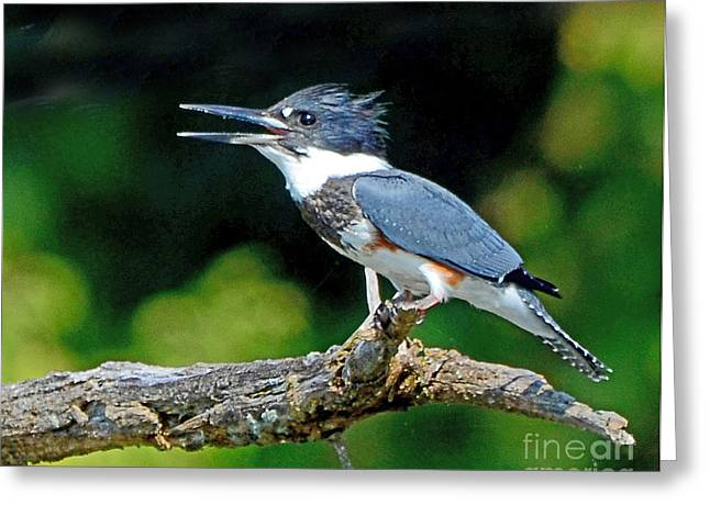 Vocal Belted Kingfisher Greeting Card by Rodney Campbell
