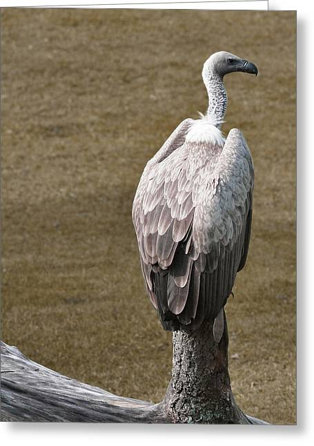 Vulture On Guard Greeting Card