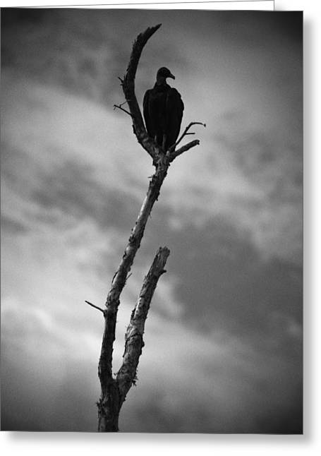 Vulture Silhouette Greeting Card