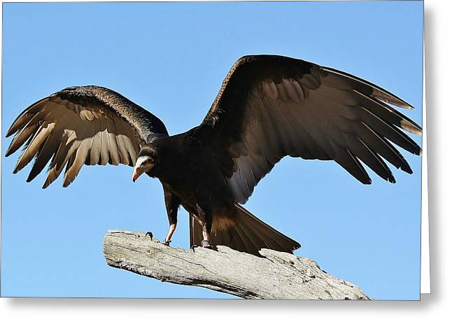 Vulture Wings Greeting Card by Paulette Thomas