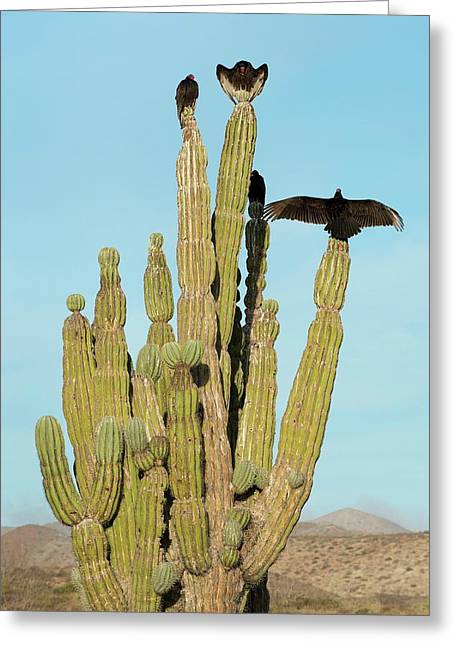 Vultures On A Cactus Greeting Card by Christopher Swann