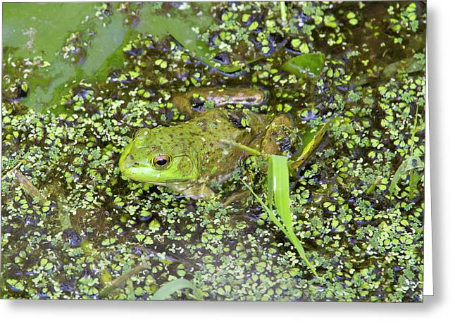 Wa, Juanita Bay Wetland, Bullfrog Greeting Card by Jamie and Judy Wild