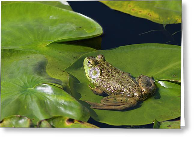 Wa, Juanita Bay Wetland, Bullfrog, Male Greeting Card by Jamie and Judy Wild