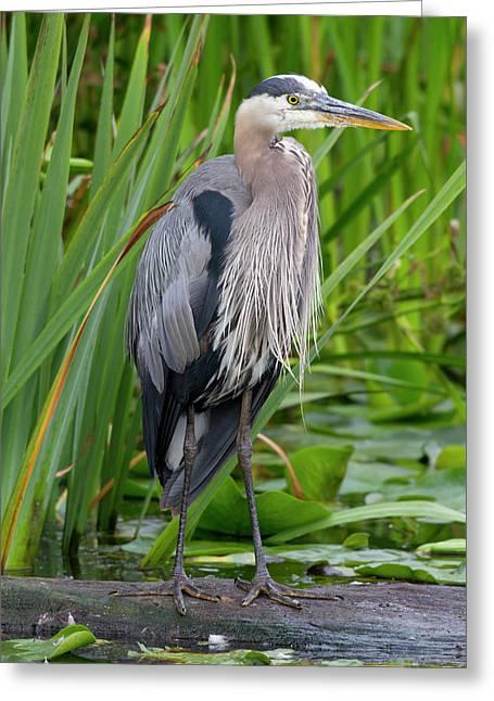 Wa, Juanita Bay Wetland, Great Blue Greeting Card by Jamie and Judy Wild