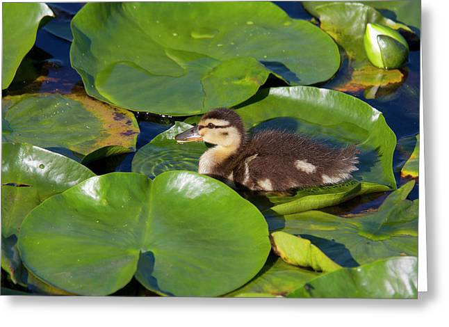Wa, Juanita Bay Wetland, Mallard Duck Greeting Card