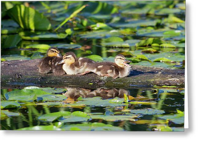 Wa, Juanita Bay Wetland, Mallard Ducks Greeting Card