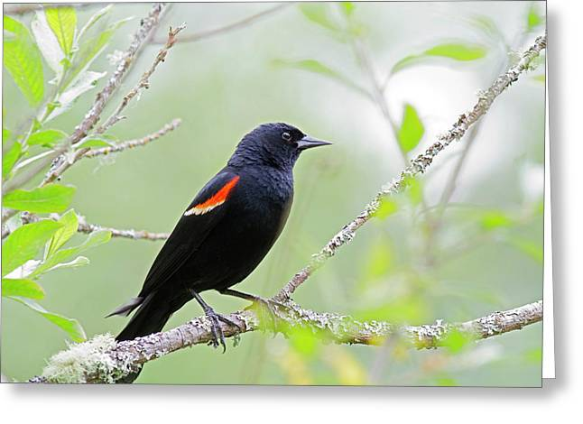 Wa, Juanita Bay Wetland, Red-winged Greeting Card by Jamie and Judy Wild