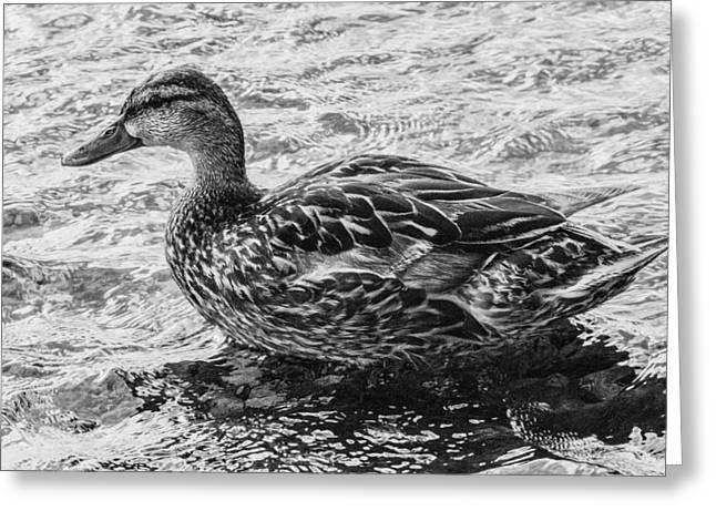 Wading Female Mallard Greeting Card