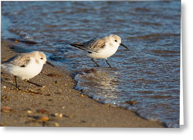 Wading Sanderlings Greeting Card