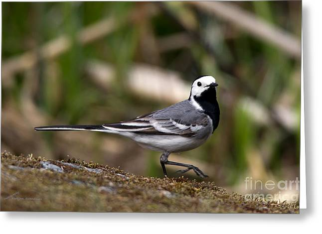 Wagtail's Step Greeting Card