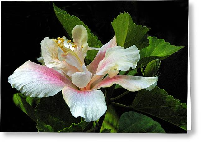 Waitangi White Hibiscus Greeting Card by Linda Phelps